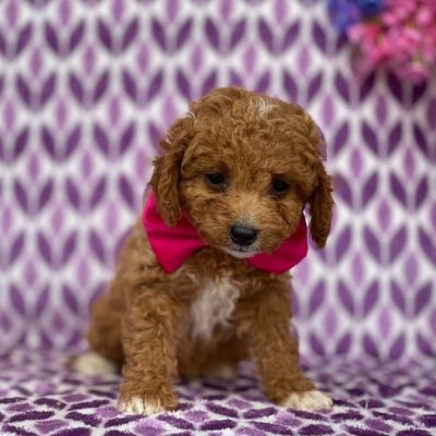 Fiona - Cavapoo male doggie for sale at Rising Sun, Maryland