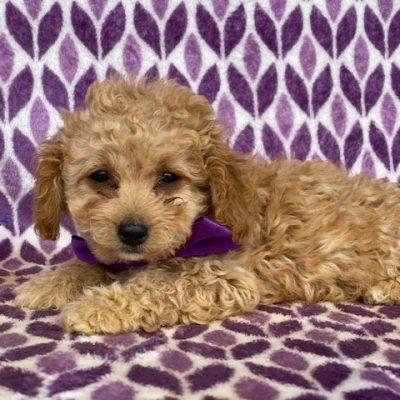 Joy - Cavapoo puppy for sale near Rising Sun, Maryland