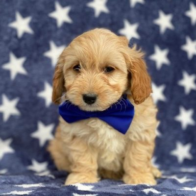 Oscar - Cavapoo pup for sale in Rising Sun, Maryland