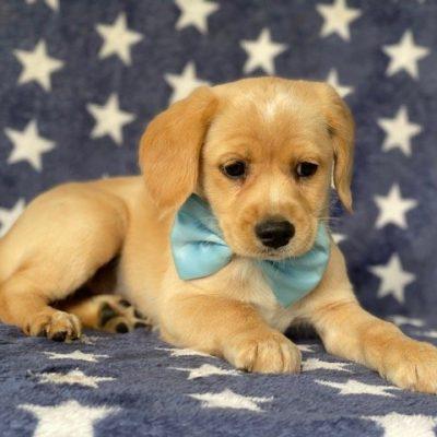 Arnold - pup Cocker spaniel /Jack Russell cross for sale near Delta, Pennsylvania