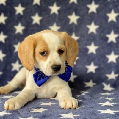 Carter - Cocker spaniel /Jack Russell cross puppy for sale at Delta, Pennsylvania