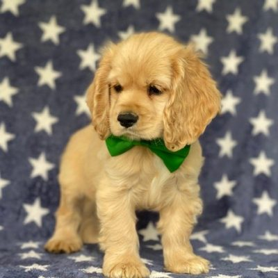 Muggles - Cocker spaniel puppie for sale near Delta, Pennsylvania