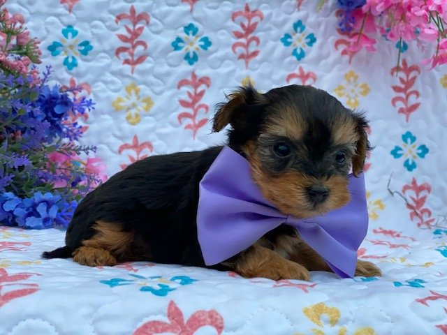 Mona Lisa - Yorkiepoo female pup for sale in Red Lion, Pennsylvania