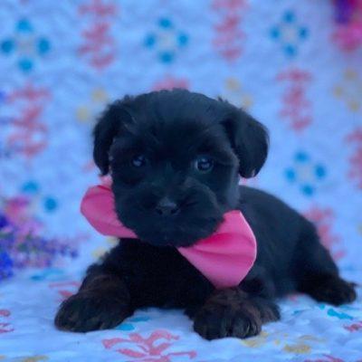 Venus - Yorkiepoo female puppy for sale near Red Lion, Pennsylvania