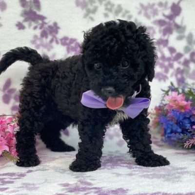 Lexie - Toy Poodle female doggie for sale at Narvon, Pennsylvania