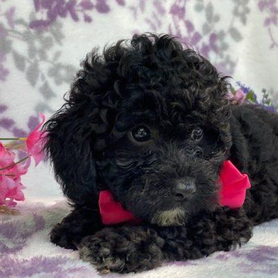 GIgi - Toy Poodle pupper for sale near Narvon, Pennsylvania