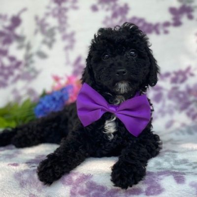 Jane - Toy Poodle pup for sale at Narvon, Pennsylvania