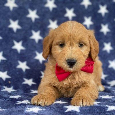 Brady - MIni f1 goldendoodle, Ronks, PA (Copy)