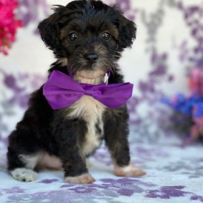 Rosy - Toy Aussiedoodle female pupper for sale near New Providence, Pennsylvania