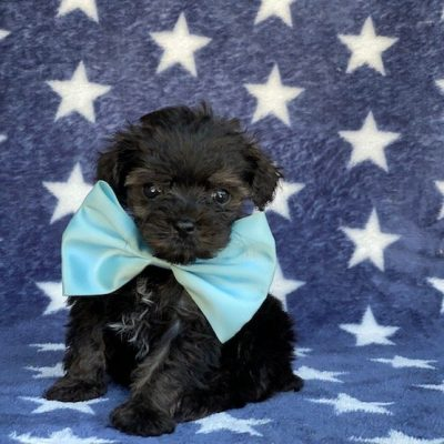 Rocky - Toy Aussiedoodle male pup for sale at New Providence, Pennsylvania
