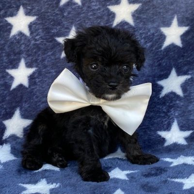 Hudson - Toy Aussiedoodle puppy for sale in New Providence, Pennsylvania