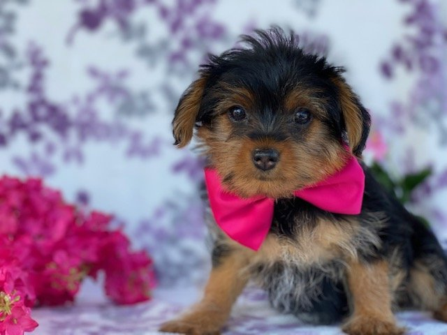 Blakely - Teacup Yorkiepoo puppy for sale