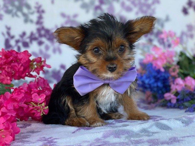 Sissy - Teacup Yorkiepoo female pup for sale