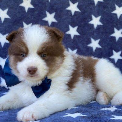 Roger - Pomsky male puppie for sale in Manheim, Pennsylvania