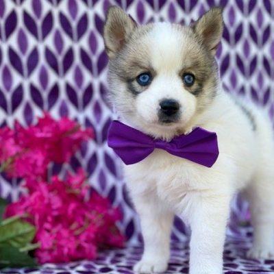 Louise - puppy Pomsky female for sale near Manheim, Pennsylvania