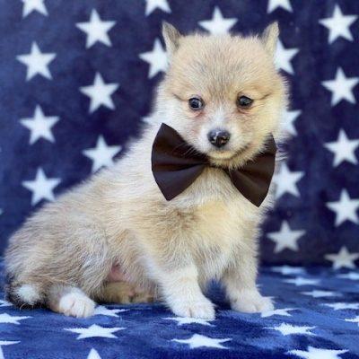 Billie - male Pomsky pup for sale at Manheim, Pennsylvania