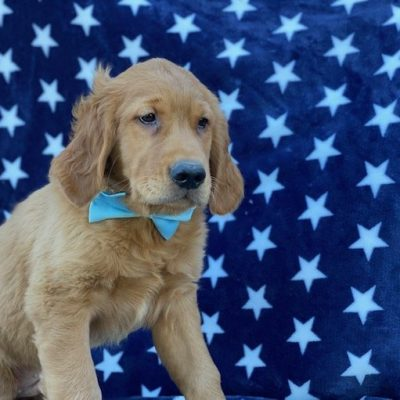 Hero - puppy Red Golden Retriever male for sale at Christiana, Pennsylvania
