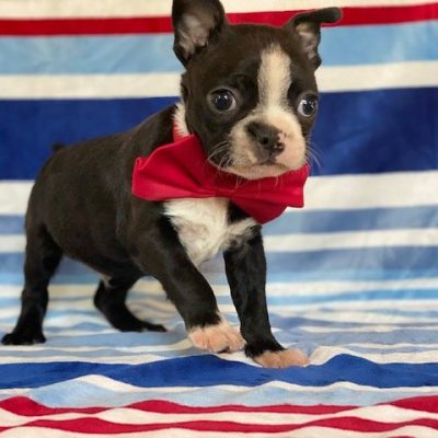 Wallace - Boston Terrier - New Providence PA (Copy)
