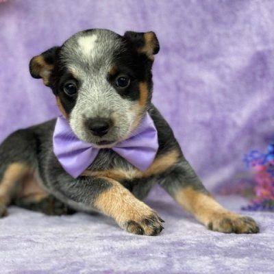 Marlee - Australian cattle dog male puppie for sale at Christiana, Pennsylvania
