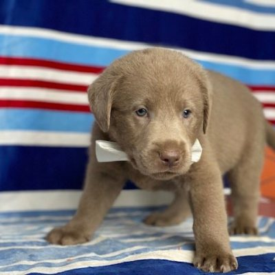 Rover - Laborador Retriever puppie for sale in Nottingham, Pennsylvania