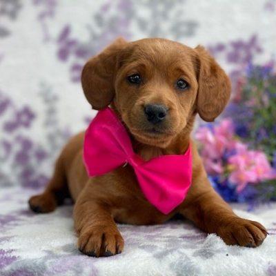 Jillian - f1b mini Labradoodle male doggie for sale in Kirkwood, Pennsylvania