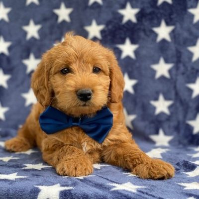 Archie - f1b mini Labradoodle puppy for sale in Kirkwood, Pennsylvania