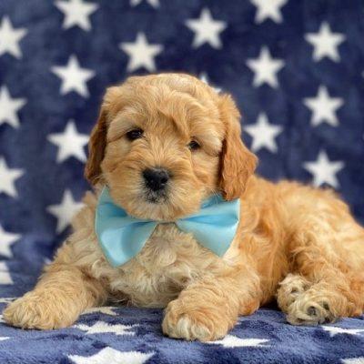 Jameson - f1b mini Labradoodle doggie for sale near Kirkwood, Pennsylvania