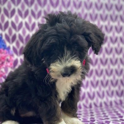 Lacey - Bernedoodle f1 female puppie for sale in Nottingham, Pennsylvania