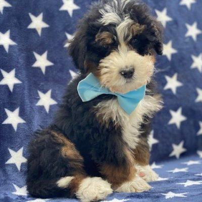 Carl - male Bernedoodle f1 doggie for sale at Nottingham, Pennsylvania