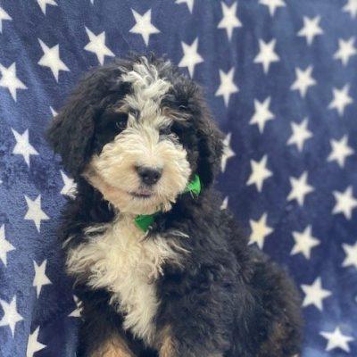 Marshall - Bernedoodle f1 male puppy for sale near Nottingham, Pennsylvania