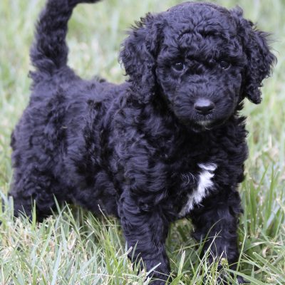 PINK - *ADOPTION HOLD* F2 male Goldendoodle pup (Ponca City, Oklahoma)