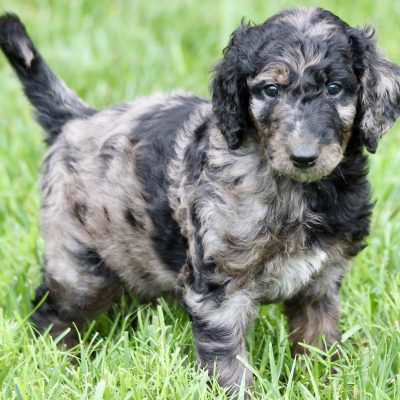 YELLOW - F2 male Goldendoodle pup (Ponca City, Oklahoma)