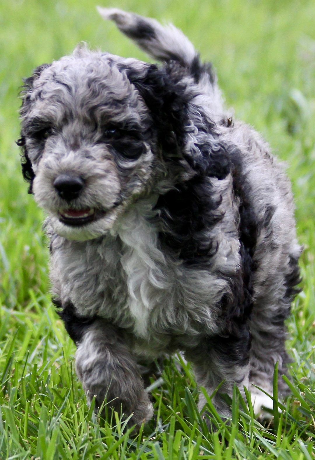 RED - *ADOPTION HOLD* F2 female Goldendoodle pup (Ponca City, Oklahoma)