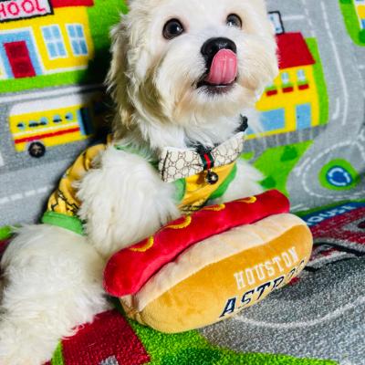 AstroBear - Maltipoo male doggie for sale at Houston, Texas