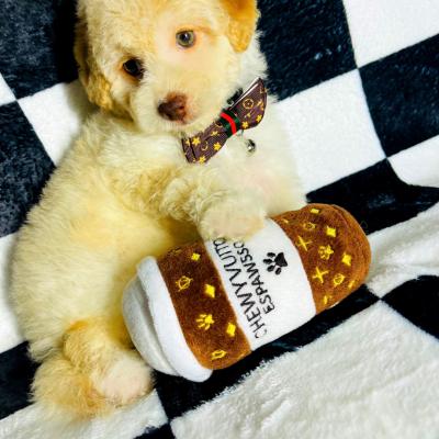 BabyBatman, Adorable Teddy Bear Face Male Maltipoo with Green Eyes!