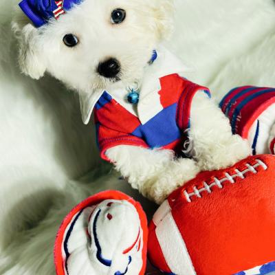 BabyLouis, Adorable Teddy Bear Face white male Maltipoo ready!