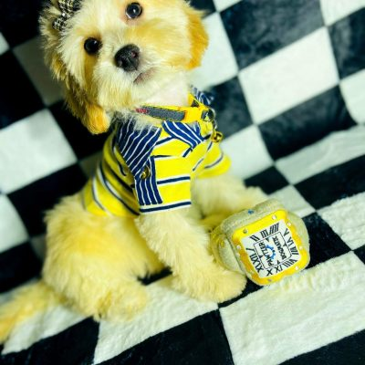 GoldenBoy - Maltipoo male pup for sale at Houston, Texas
