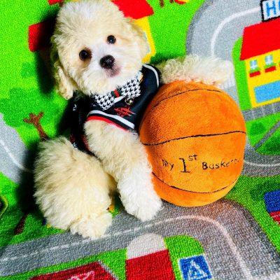 NBABear, Adorable Teddy Bear Face Male Maltipoo