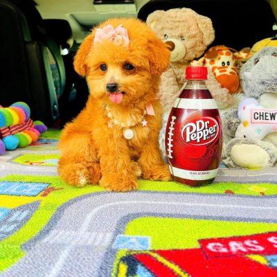 MissGinger, Adorable female ginger Maltipoo puppy !
