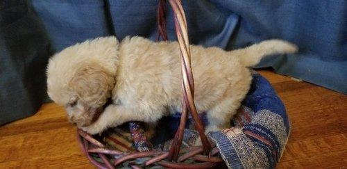 Sam - Goldendoodle male pupper for sale near Boone, Iowa