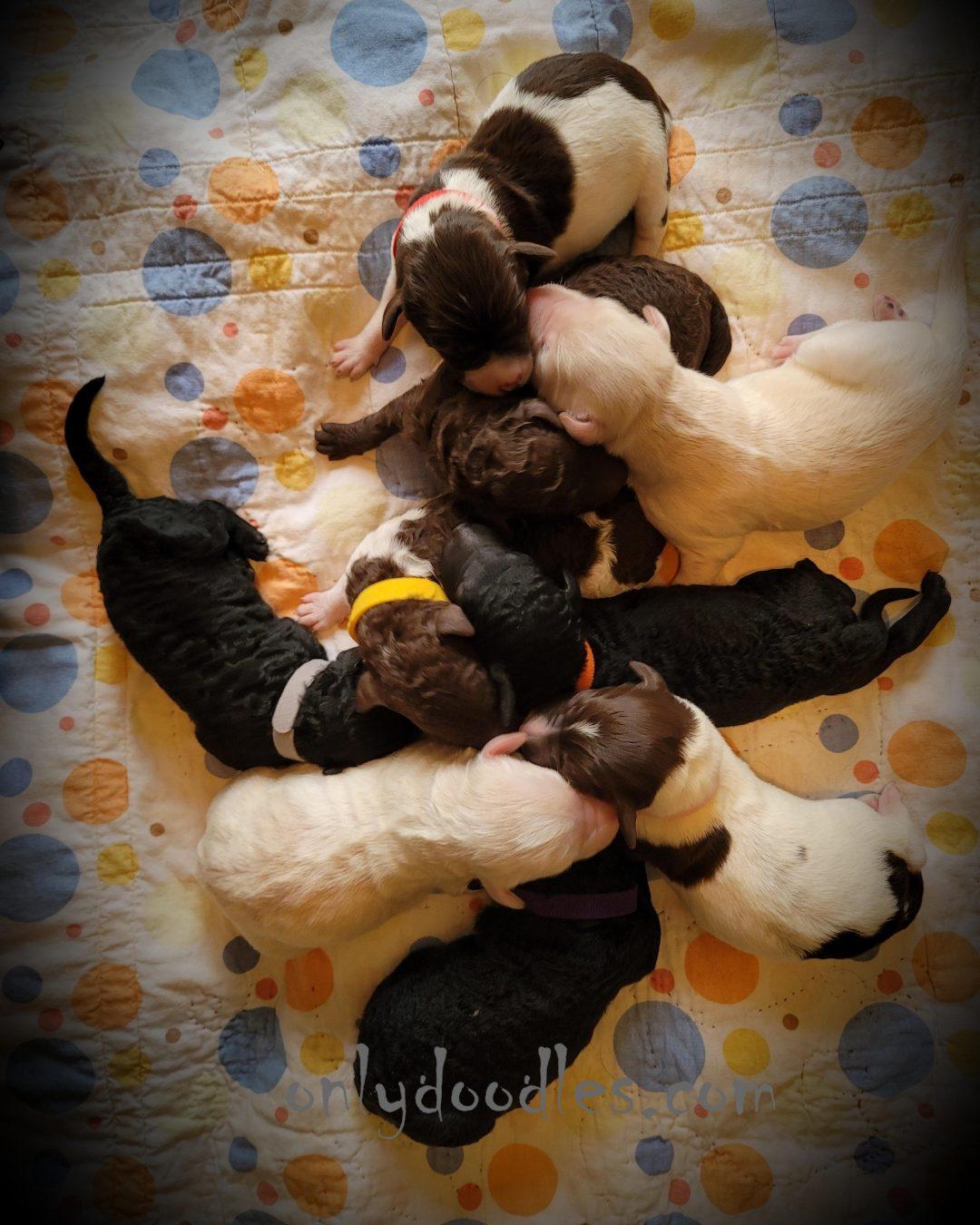 F1b Labradoodles puppies for sale in Alton, Missouri