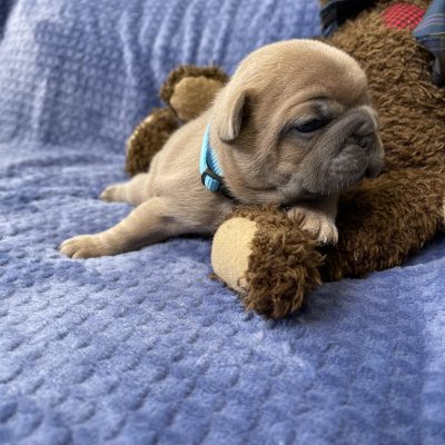Nemo Stunning Blue Fawn French Bulldog puppy for sale in the Tampa, Florida