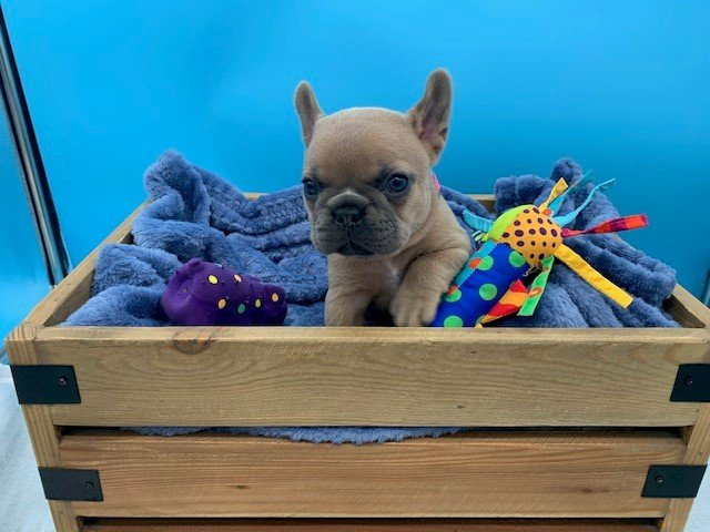 Tinker Bell Tiny female Blue Fawn French Bulldog puppy for sale in the Tampa, Florida