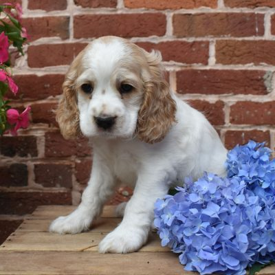 Baby Ruth - Cockapoo pupper for sale in Lewisburg, Pennsylvania