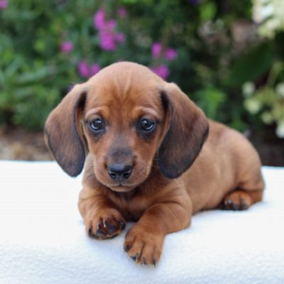 Bella - Dachshund puppie for sale near East Earl, Pennsylvania