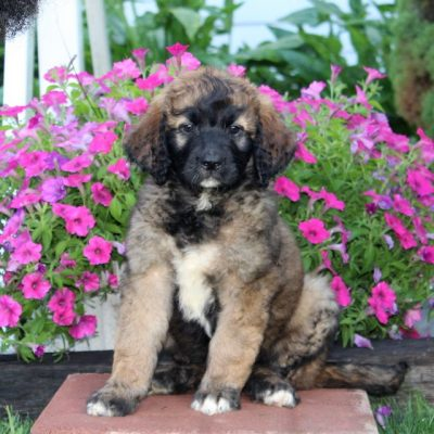 Bonnie - F1 Saint Berdoodle female puppie for sale in Kirkwood, Pennsylvania