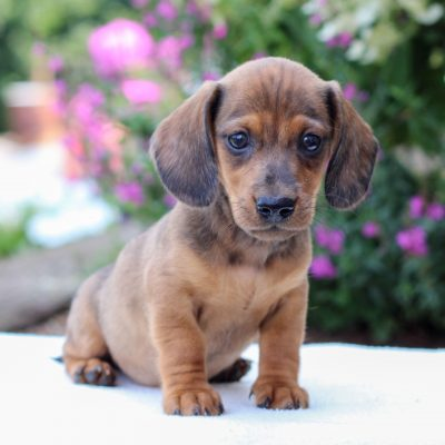 Boone - Dachshund pupper for sale in East Earl, Pennsylvania