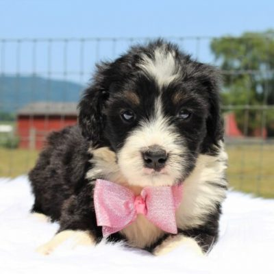 Breeze - Bernedoodle, Well socialized with kids, Going home package !!