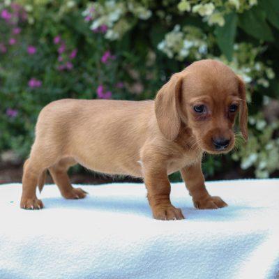 Bristol - Dachshund puppy for sale at East Earl, Pennsylvania