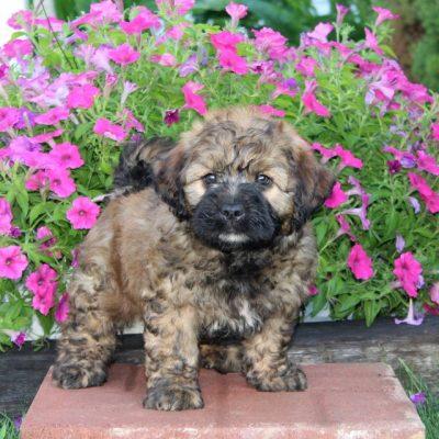 Buster - F1 Saint Berdoodle male doggie for sale near Kirkwood, Pennsylvania